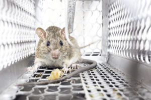 mouse control - rodent control ssan antonio
