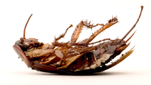 san antonio pest Control - roaches