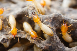 getting rid of termites san antonio pest control