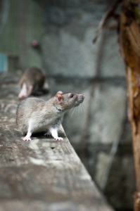rodent control san antonio